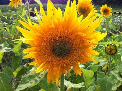 sunflowerhoriz